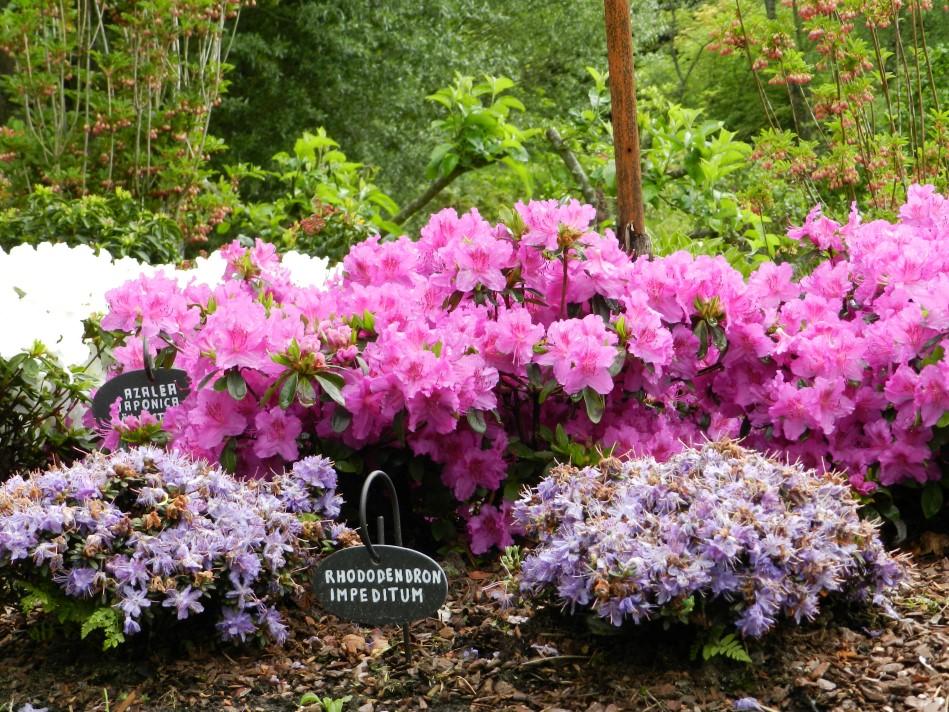 Die Rhododendren von Lydie und Raymond