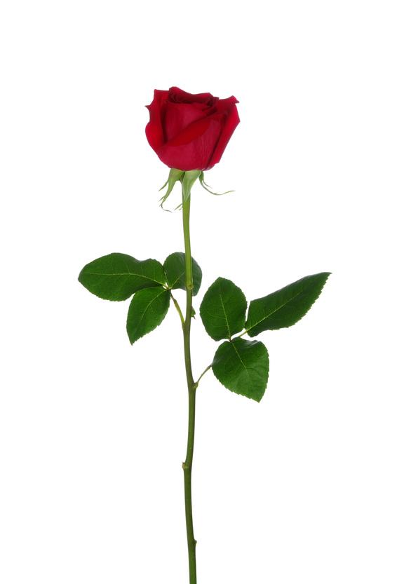 Fiche de renseignements des roses