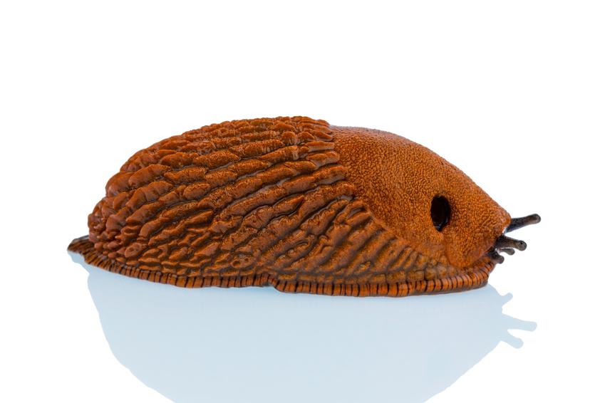 Fiches de renseignements sur les limaces espagnoles