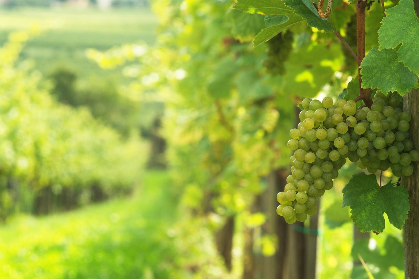 Fiche de renseignements de la vigne noble