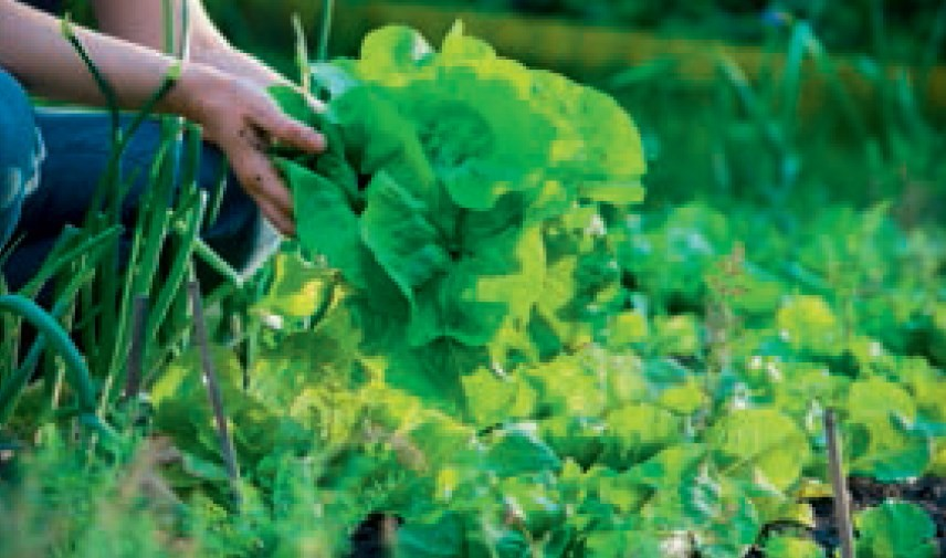 """Erntezeitpunkt bei Gemüse Tipps von Ihrem """"Eist Uebst"""" -Gärtner:"""