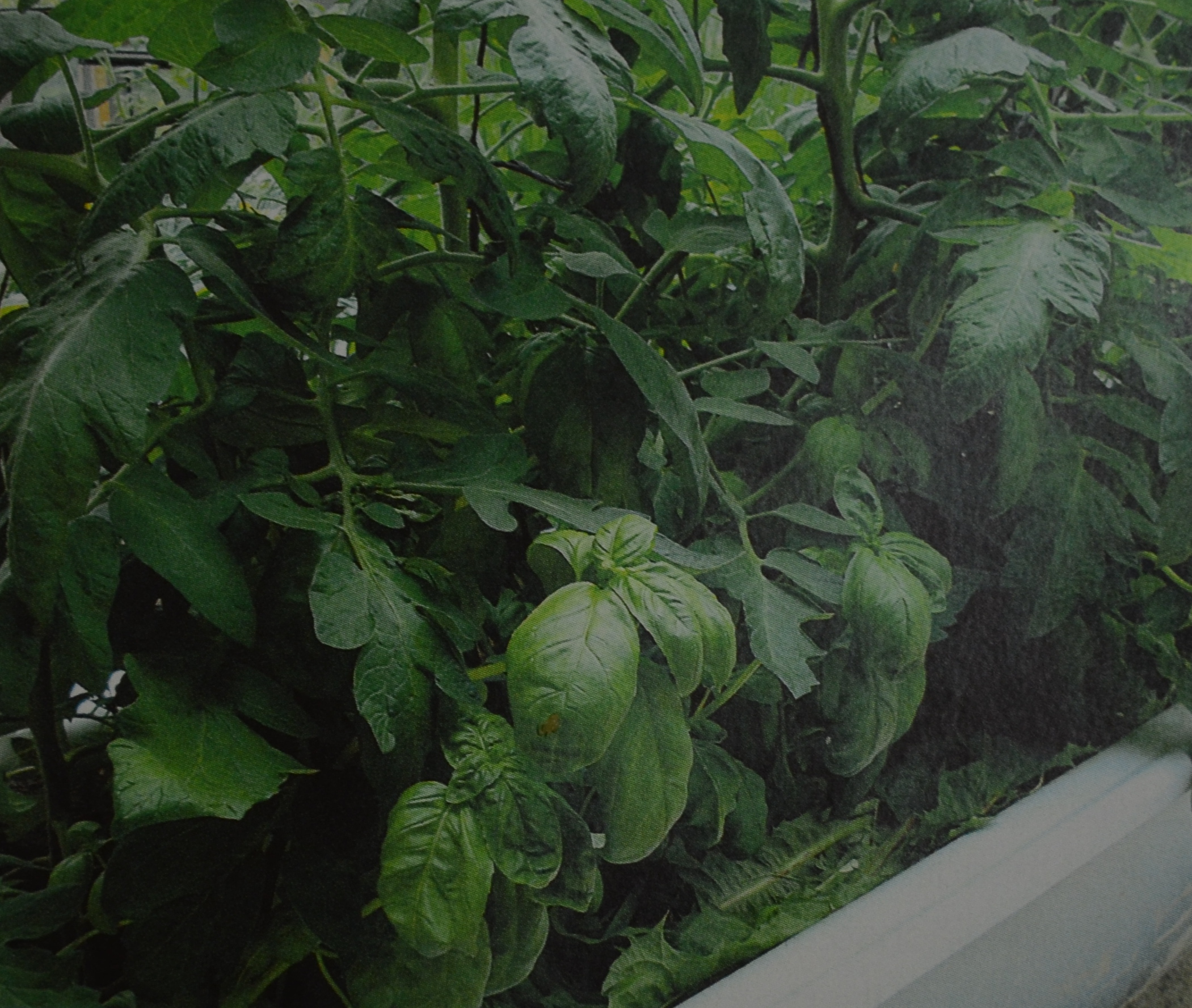 Der Gemüsegarten auf Balkon und Terrasse I