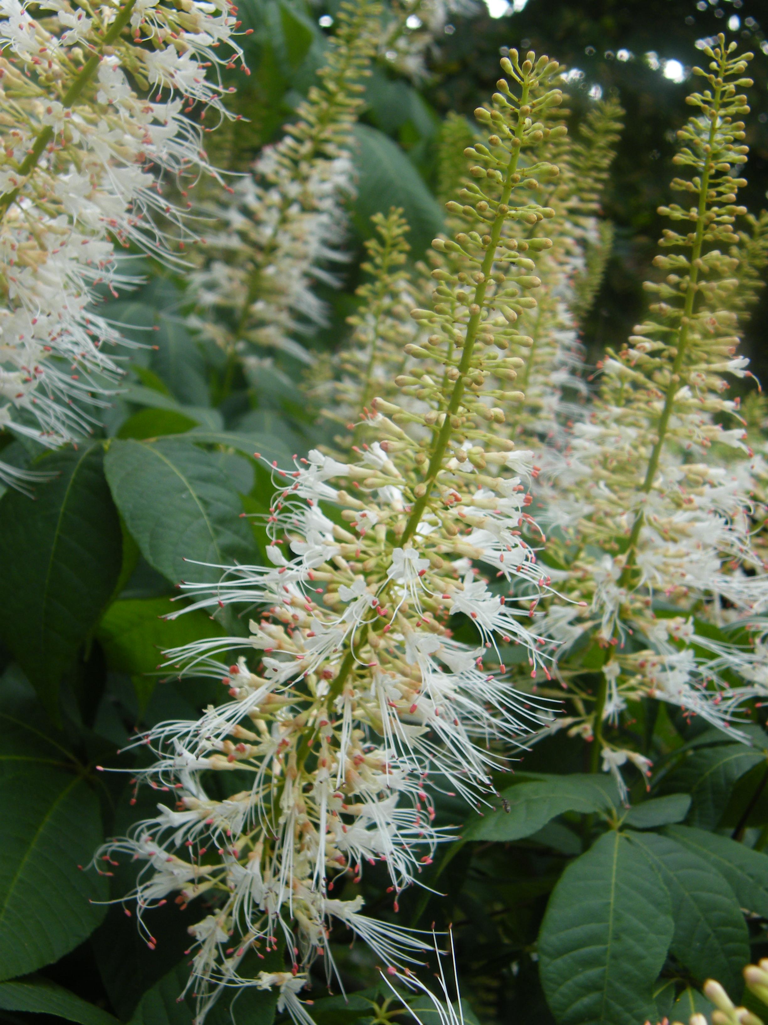 Die Strauch-Rosskastanie – Aesculus parviflora