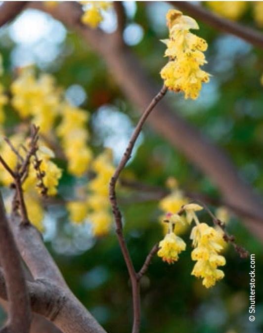 Ährige Scheinhasel Corylopsis spicata