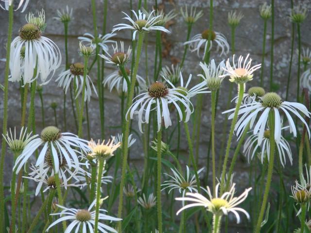 Bleicher Scheinsonnenhut – Echinacea pallida 'Hula Dancer'