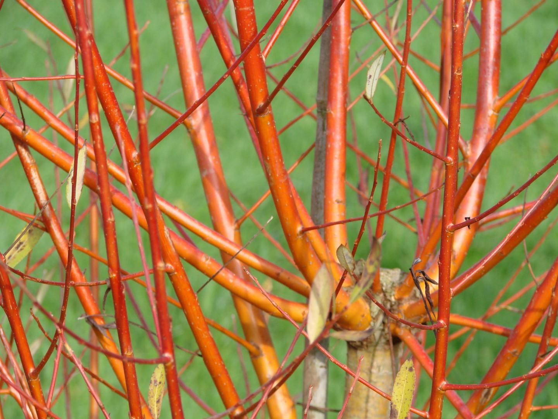 Salix americana LTA 151203 21