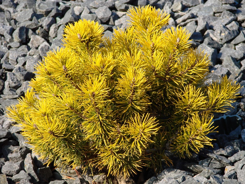 Goldige Kiefern - Pinus mugo 'Winter Gold'
