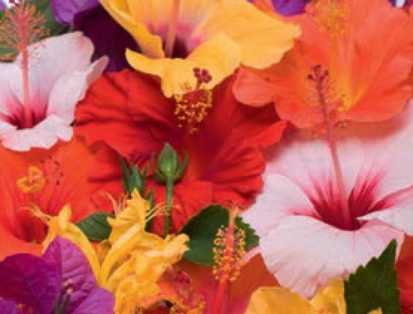 Hibiscus syriacus - Strauch-Eibisch