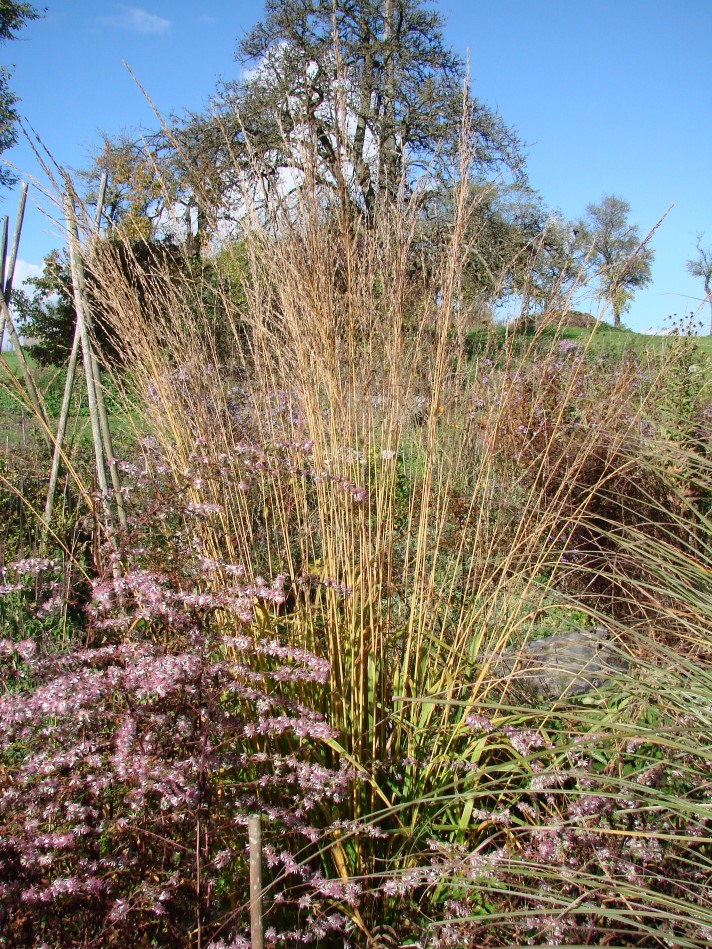Das Hohe Pfeifengras –  'Molinia arundinacea 'Cordoba'