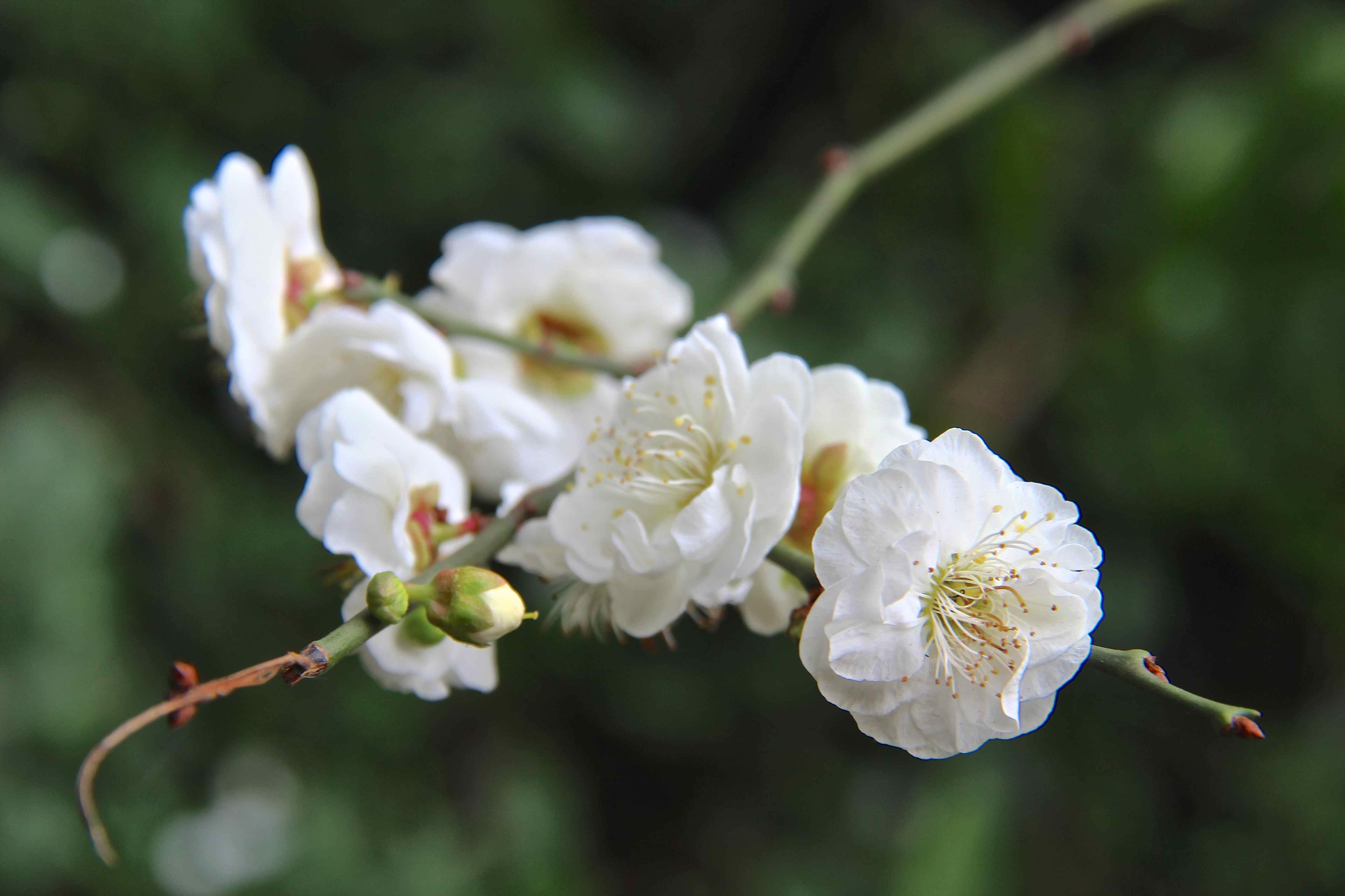 Die Japanische Aprikose, Prunus mume, und ihre Sorten