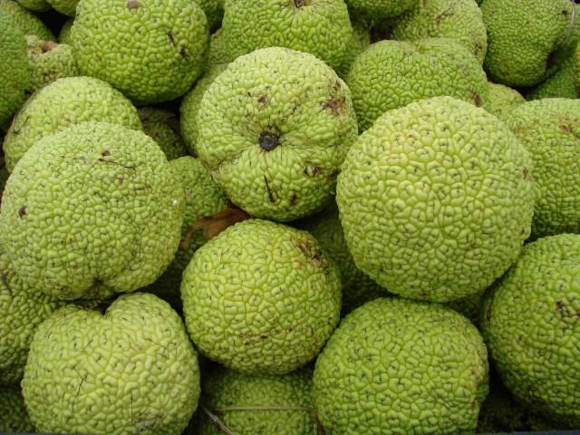 Osage-Dorn oder Milchorange – Maclura pomifera