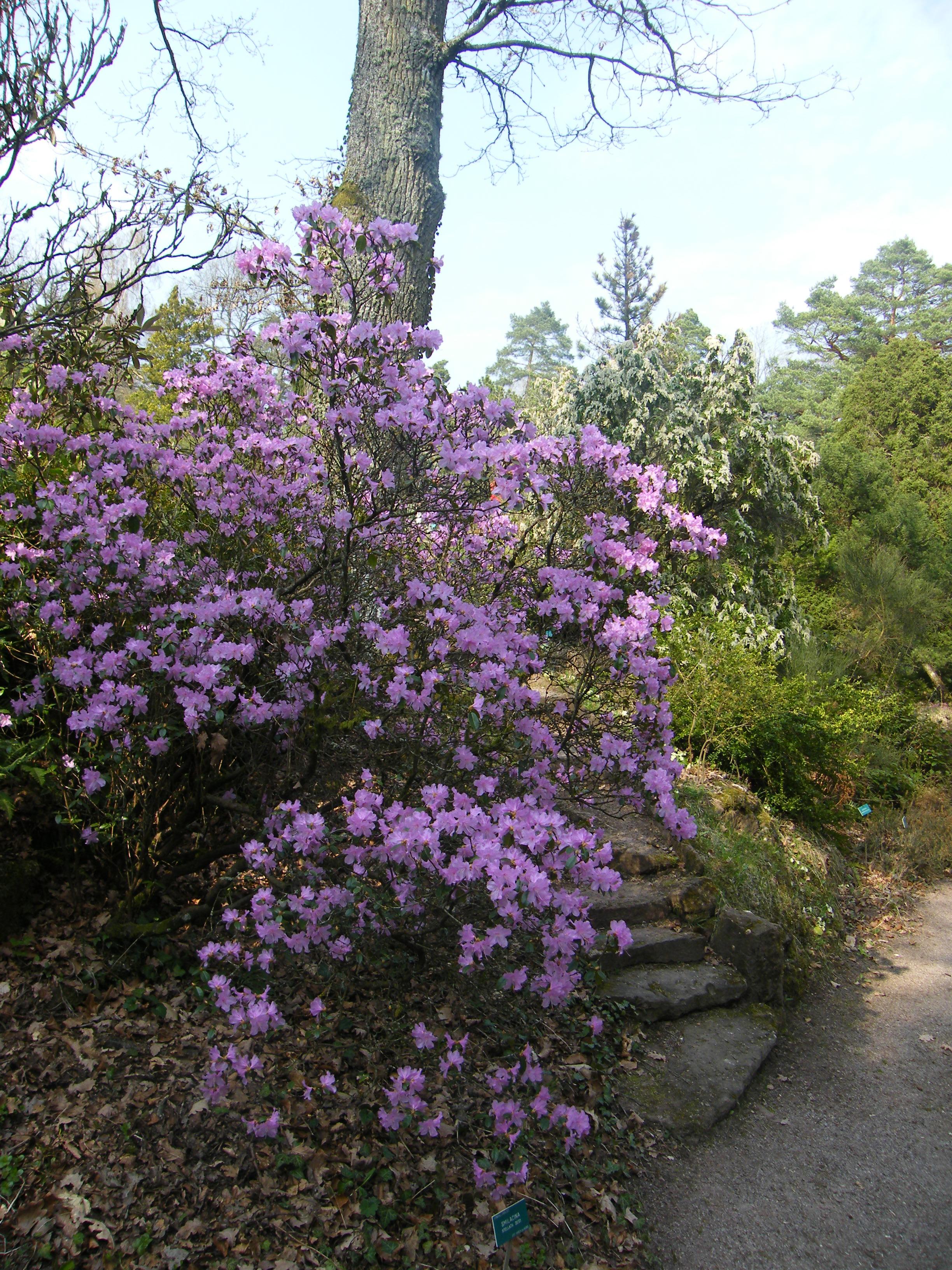 Vorfrühlingsalpenrose – Rhododendron 'Praecox'