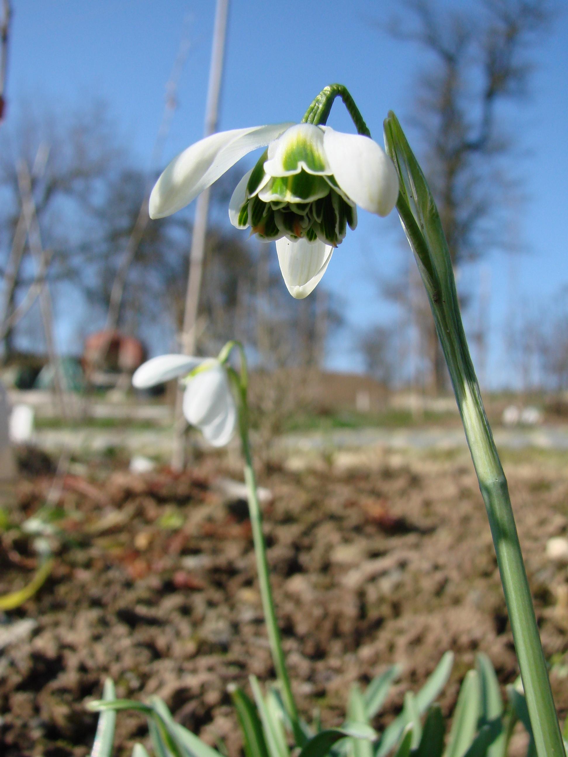 Schneeglockchen-Sorten – Galanthus nivalis & Co.