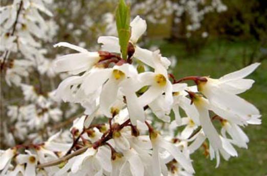 Weiße Forsythie Abeliophyllum distichum