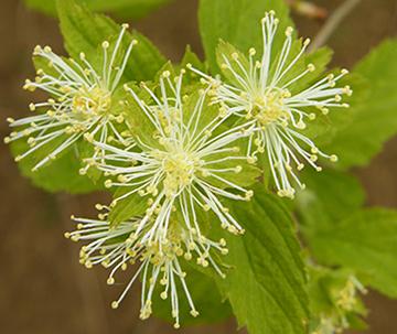 Neviusia alabamensis, die Alabama-Schneelocke