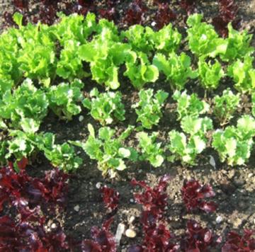 Mischkultur – naturnaher Gemüsegarten!