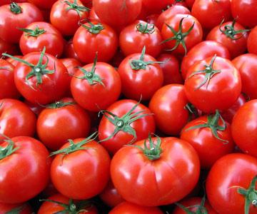 Erste Ergebnisse des Anbaus von Tomaten im Freiland